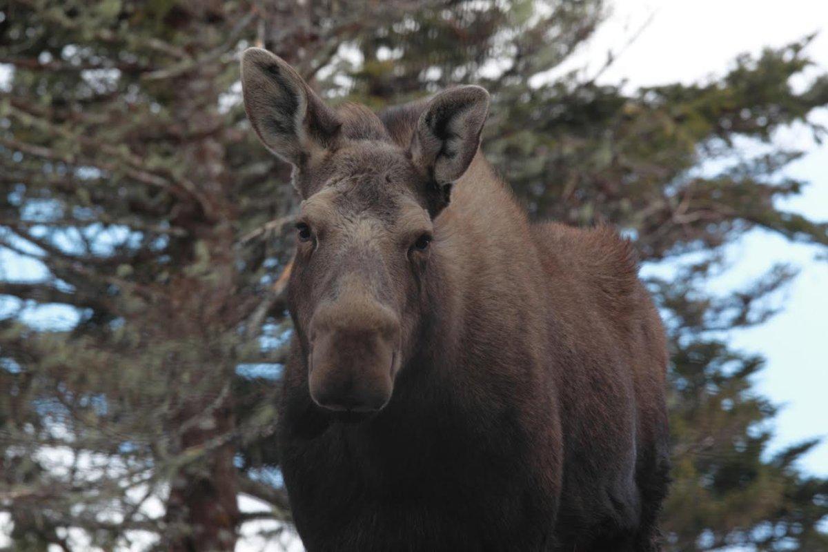 Moose hunting season in New Brunswick will run September 20-24, 2016.
