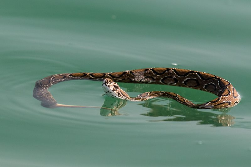 A Russell's viper snake swimming in the Indian Ocean.