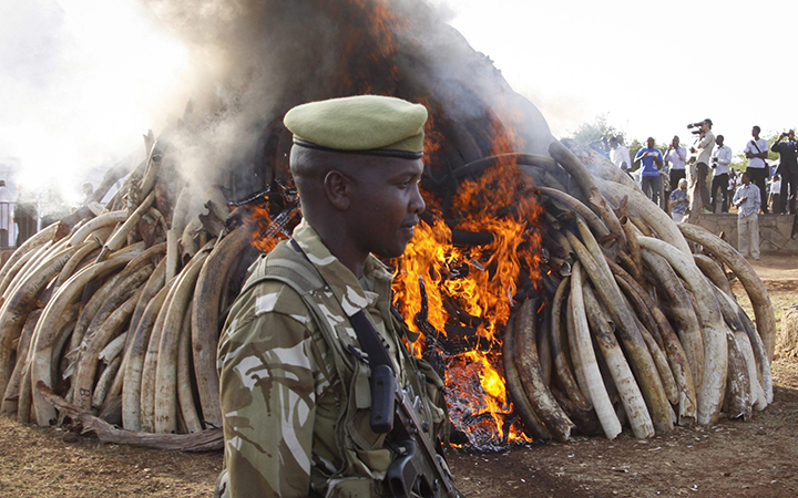 A ranger from the Kenya Wildlife Service walks past 15 tons of elephant tusks which were set on fire, during an anti-poaching ceremony at Nairobi National Park in Nairobi, Kenya Tuesday, March 3, 2015.