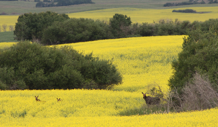 July 21: This Your Saskatchewan photo was taken by John Trevor near Hanley of a cow moose with twin calves in canola.