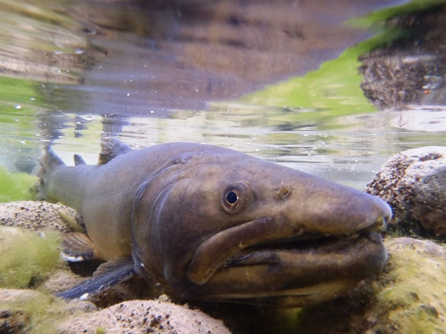 A new survey of trout streams in southwest Alberta suggests that virtually all of them are threatened by industrial development or overuse. Bull trout like the one pictured here have lost more than 70 per cent of their historic waters.
