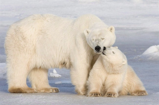 Polar bear safety sessions being held in Churchill - image