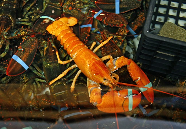 FILE: A rare bright orange lobster shares the tank with regular lobsters at the Fisherman's Catch Seafood restaurant in Raymond, Maine, Thursday, July 23, 2015. Lobster thieves are back at work in Nova Scotia - two fishing boats were hit a week apart.