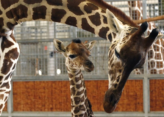 In this April 14, 2015, file photo, provided by the Dallas Zoo, a calf and its mother stand in the maternity stall at the zoo, in Dallas.