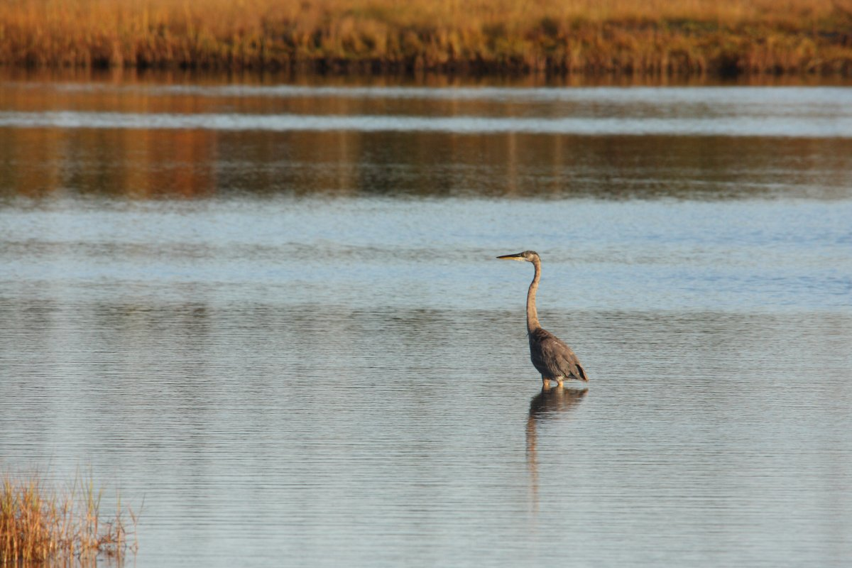 A great blue heron in Tabusintac bay.
