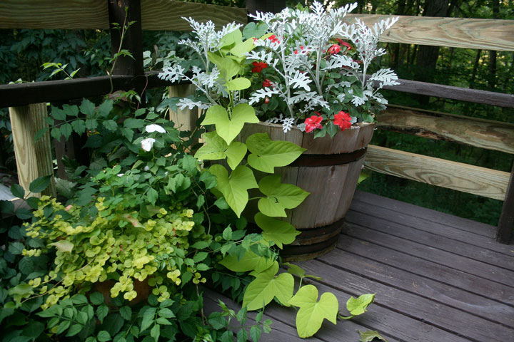 This undated photo shows sweet potato vines growing from a patio container at a residence in New Market, Va. Almost every unprocessed fruit or vegetable can be grown into a decorative houseplant.