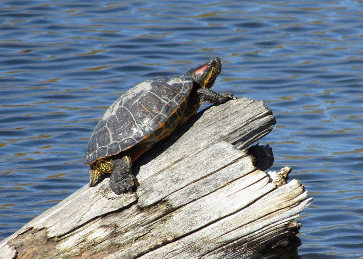 Okanagan Western Painted Turtles threatened by non-native ...