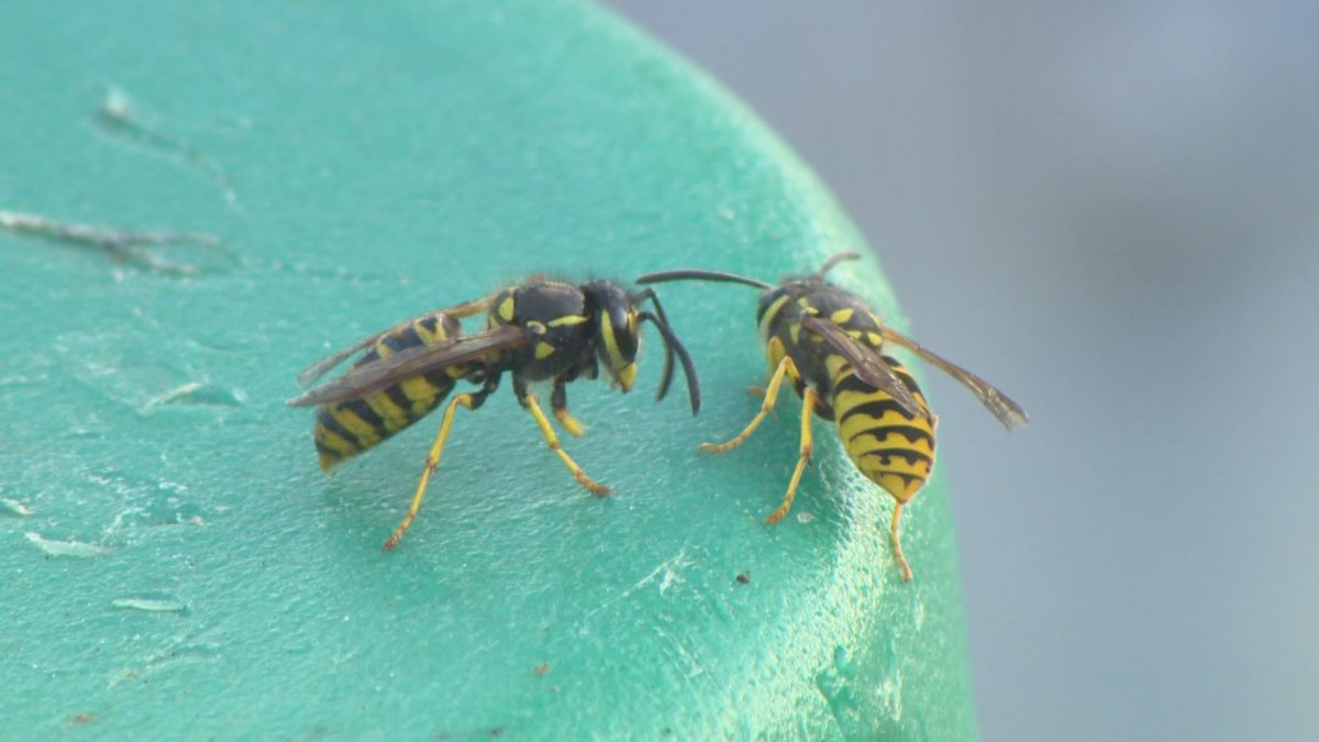 How to stay safe around wasps during peak season.