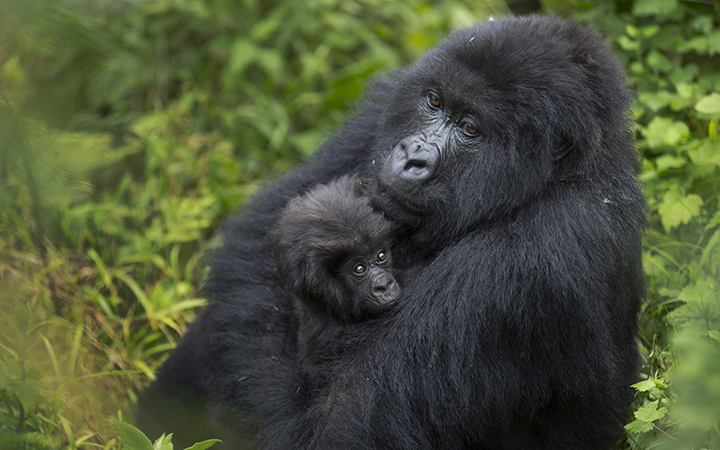 A baby mountain gorilla is held by its mother, on Mount Bisoke volcano in Volcanoes National Park, northern Rwanda on Friday, Sept. 4, 2015.