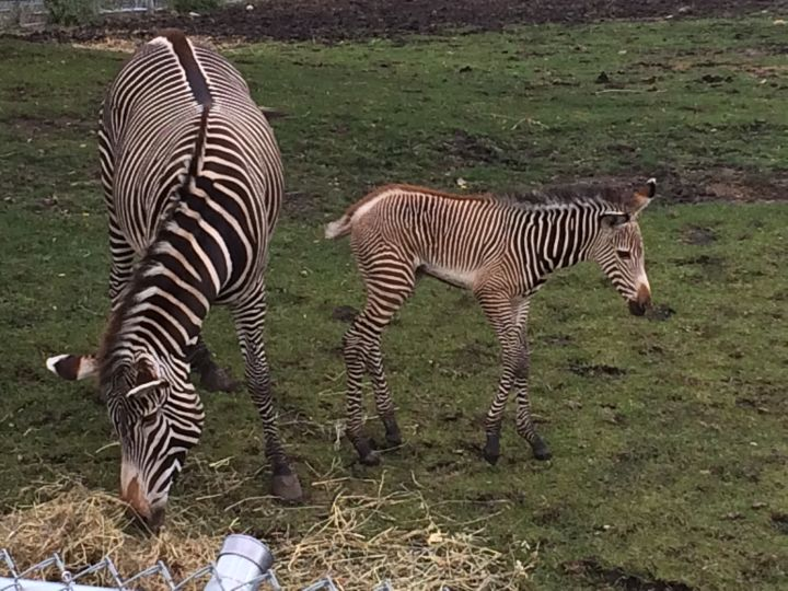 The Edmonton Valley Zoo is celebrating the birth of a baby zebra.