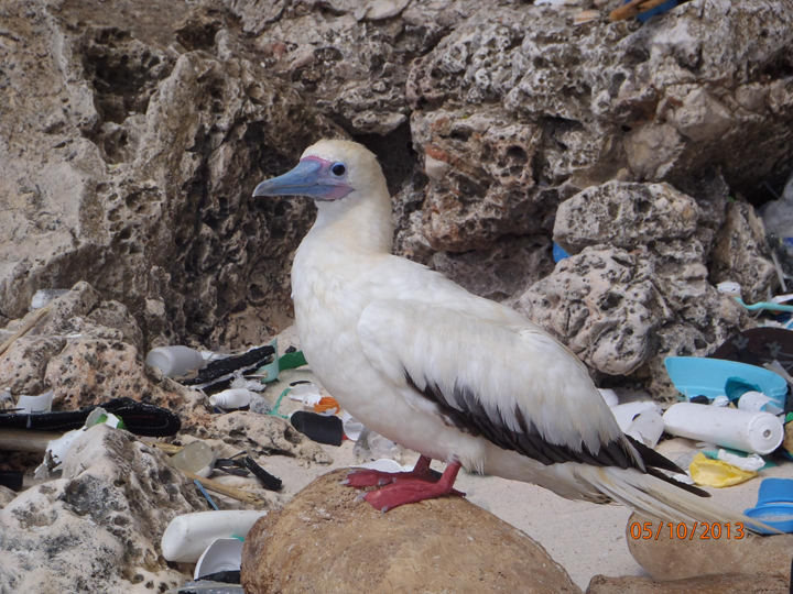 A red-footed booby sits among plastic pollution on Christmas Island.