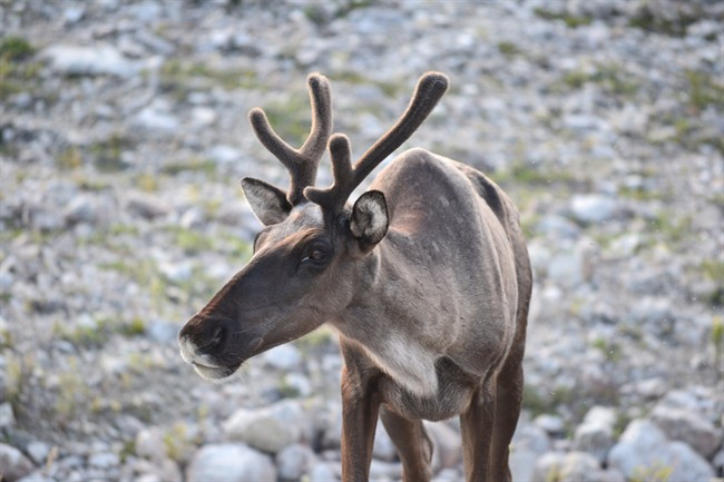 A Woodland caribou is shown in a British Columbia government handout photo.