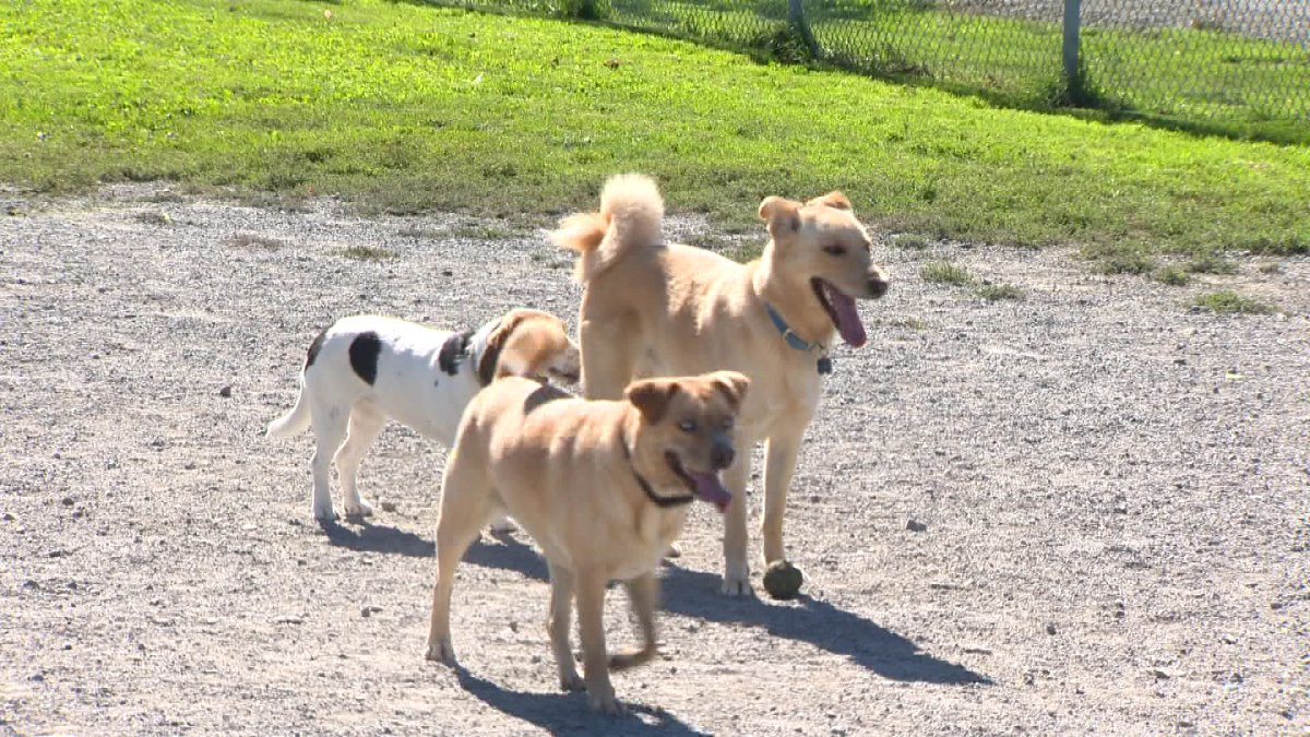 Dogs play at the Cityview Dog Park in Fredericton. Kevin Godwin/Global News.