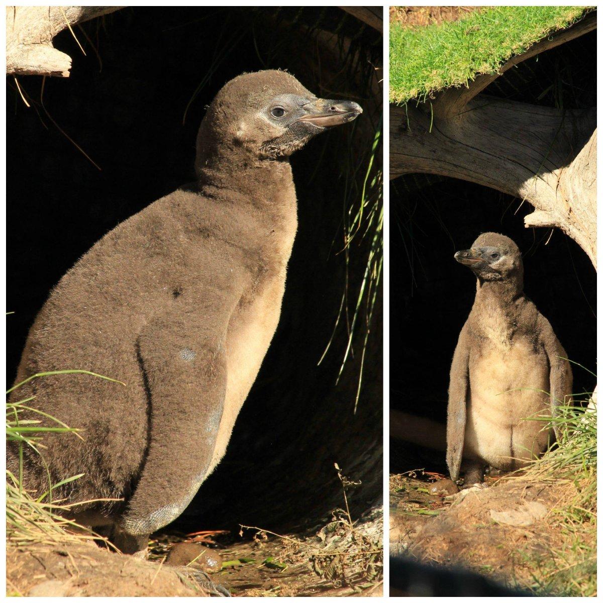 The Calgary Zoo's Humboldt penguin chick Emilio.