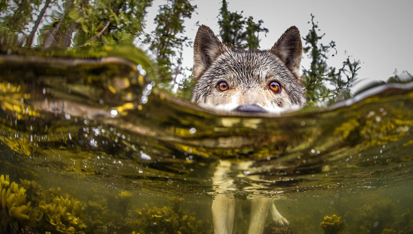 File photo. An environmentalist group is trying to drum up petition signatures to stop the Ministry of Forests from extending wolf trapping season on Vancouver Island by two months.