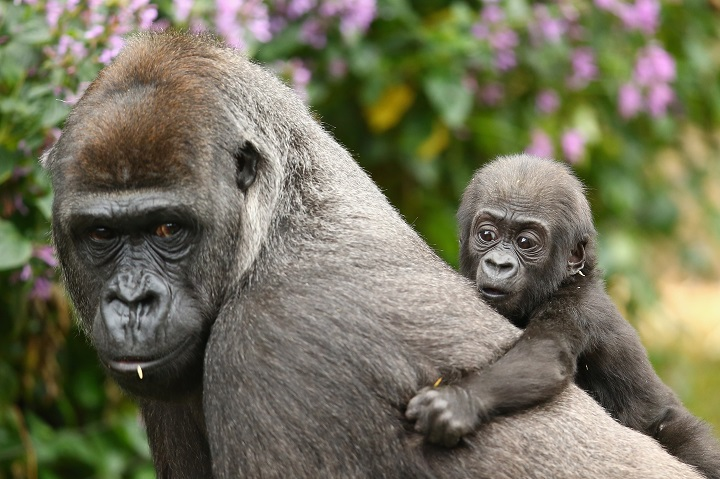 at Taronga Zoo on May 19, 2015 in Sydney, Australia. The baby gorilla was born to Western-lowland Gorilla Frala and Silverback, Kibali. The sex of the baby gorilla is yet to be determined.
