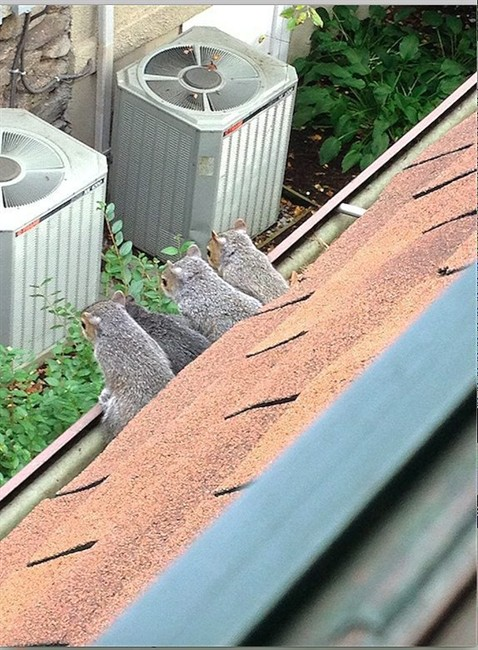 This 2014 photo courtesy of Paul Marszalek shows a litter of baby squirrels taking one of their first looks at the big, wild world after spending their first few weeks in the homeowner's attic, in Larchmont, N.Y. Squirrels, which have babies twice a year, like to next in the attics of homes, largely because they are warm and cozy when temperatures dip.
