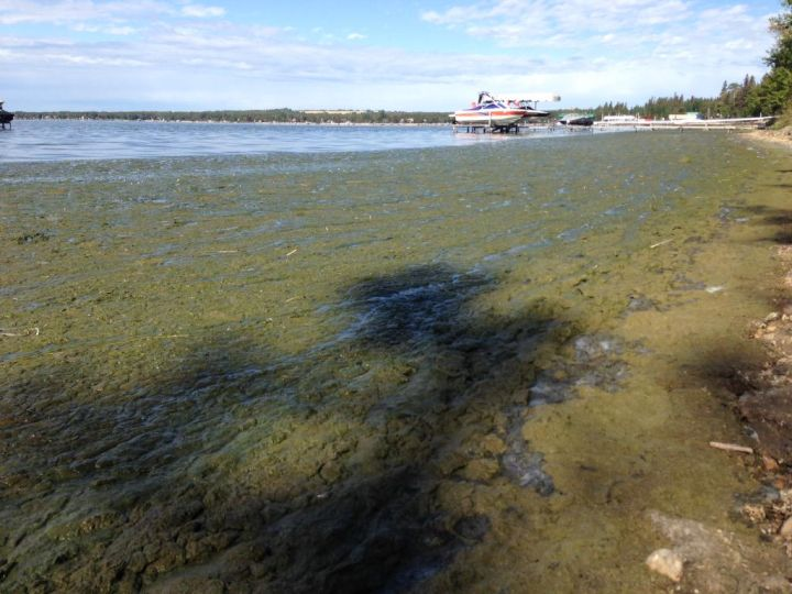 Blue-green algae build up on the shores of Pigeon Lake Wednesday, September 2, 2015.