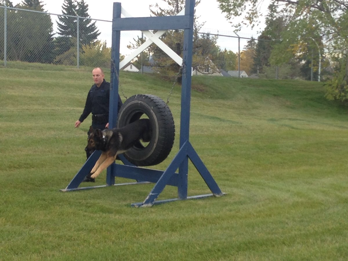 Edmonton police Const. Murray Burke and PSD Maverick showing off their skills Tuesday morning after bringing home top honours from the Canadian Police Canine Association Trials. September 29, 2015.