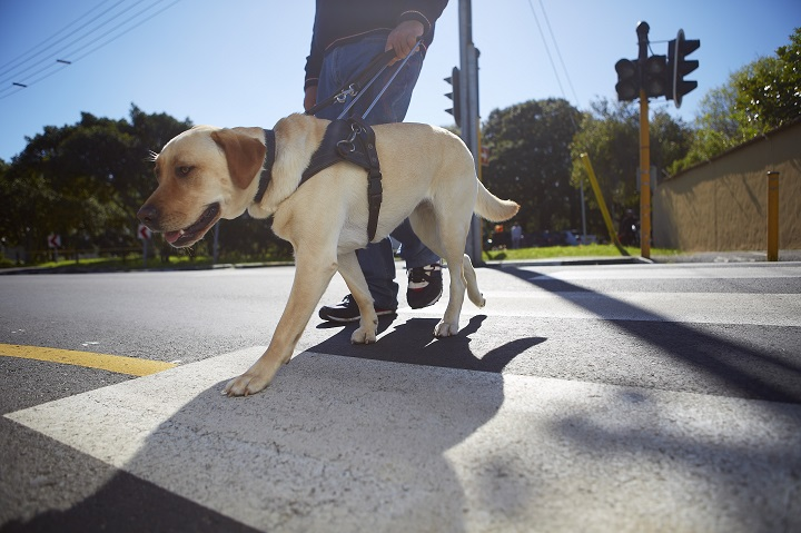Visually impaired man crossing a street with his guide dog.