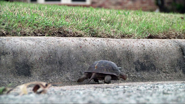 The Guelph Humane Society is asking drivers to watch out for turtles crossing the road this time of year.