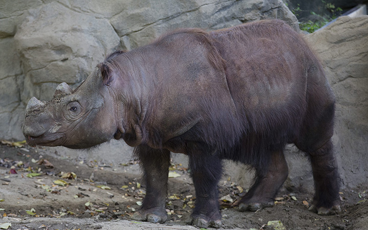 Harapan, a Sumatran Rhino, roams his enclosure on his last day of viewing at the Cincinnati Zoo and Botanical Gardens, Thursday, Oct. 29, 2015, in Cincinnati.