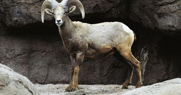Wild sheep in South Okanagan also facing pandemic, says B.C. animal society