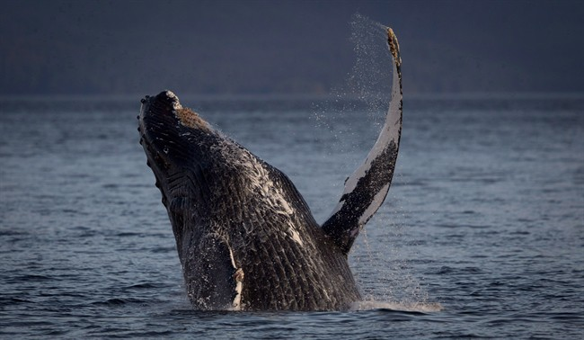 Pipeline panel didn't consider whales: lawyer - image