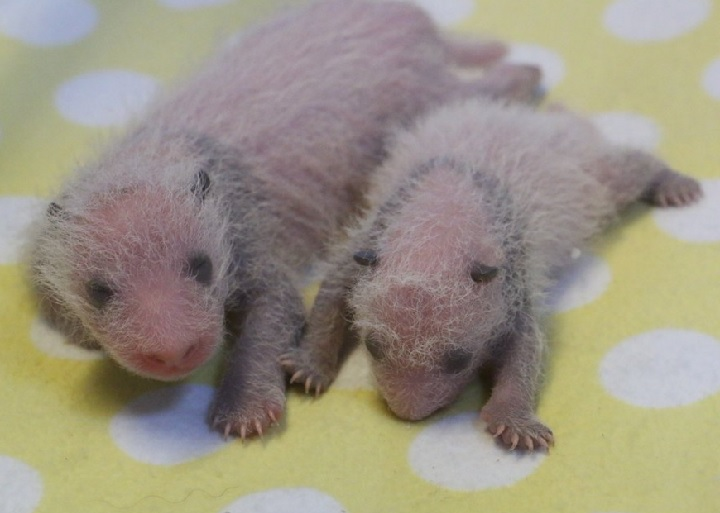 The Toronto Zoo's twin baby pandas are starting to develop black and white markings.