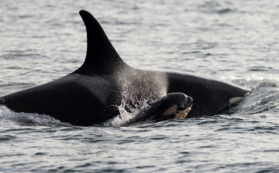 A photo of the newly born Orca, J53, the sixth new member of the Southern Resident Community this year.