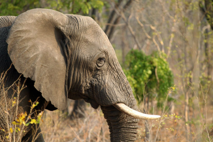 In this photo taken on Thursday, Oct. 1, 2015, an elephant is seen in Hwange National Park, about 700 kilometres south west of Harare. (File photo).