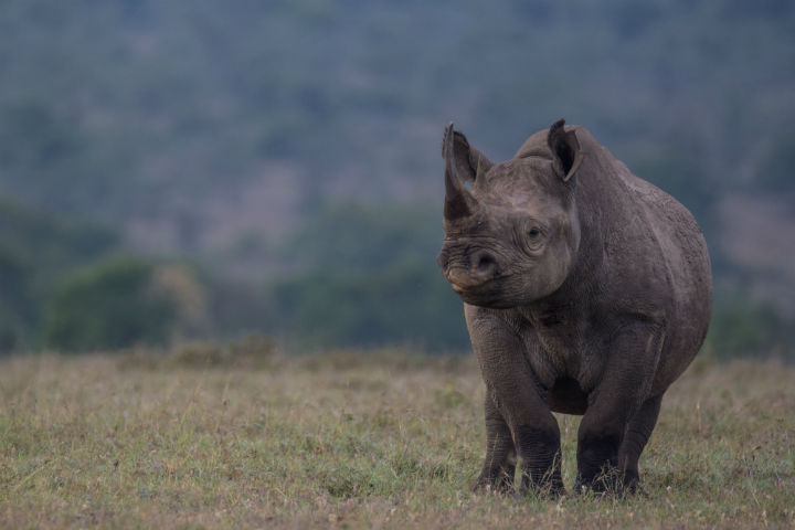 File image of a black rhinoceros. According to the conservation group Save The Rhino, there are just 29,000 rhinoceroses left in the world.