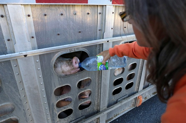Animal rights activist Anita Krajnc gives water to a pig in a truck in a handout photo. On the eve of a court appearance, Krajnc is unapologetic about providing water to sweltering pigs in a truck on their way to the slaughterhouse on a hot day earlier this year.