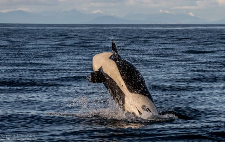An orca like the one shown above was .