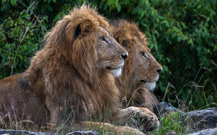 Lions at the Mara North Conservatory in Kenya.