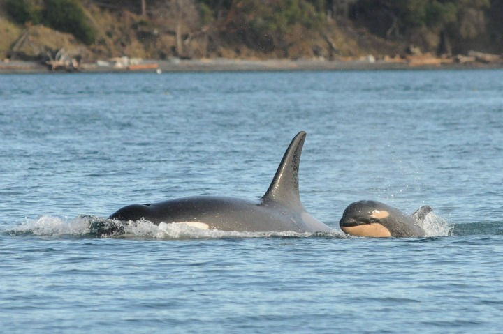 Another baby orca was spotted off the coast of B.C.
