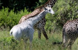 Continue reading: Omo the white giraffe spotted in Tanzanian national park
