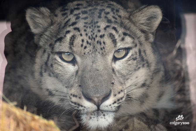 Snow leopard Leika.