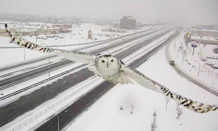 A snowy owl flashes a smile to a traffic camera along the A-40 in Montreal's West Island, Sunday, January 3, 2016.