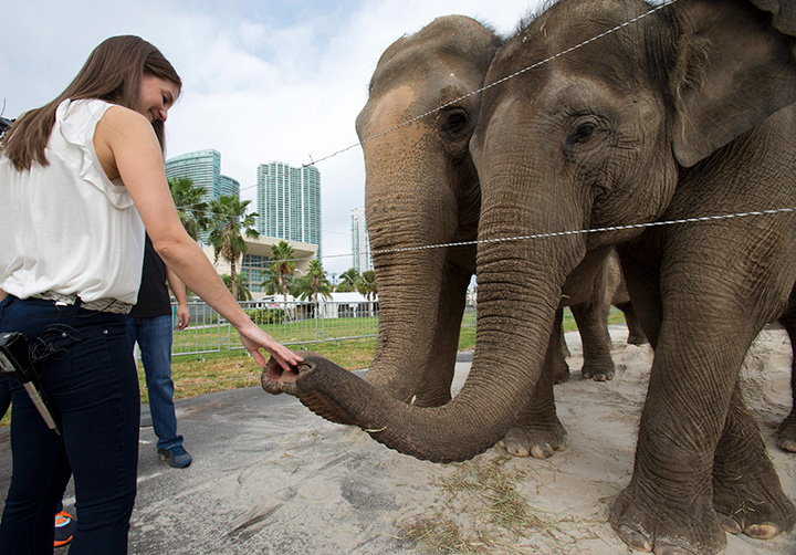 In this Friday, Jan. 8, 2016 photo, Alana Feld, Ringling Bros. and Barnum & Bailey Circus' executive vice president and show producer, interacts with Asian elephants outside the American Airlines Arena in Miami.