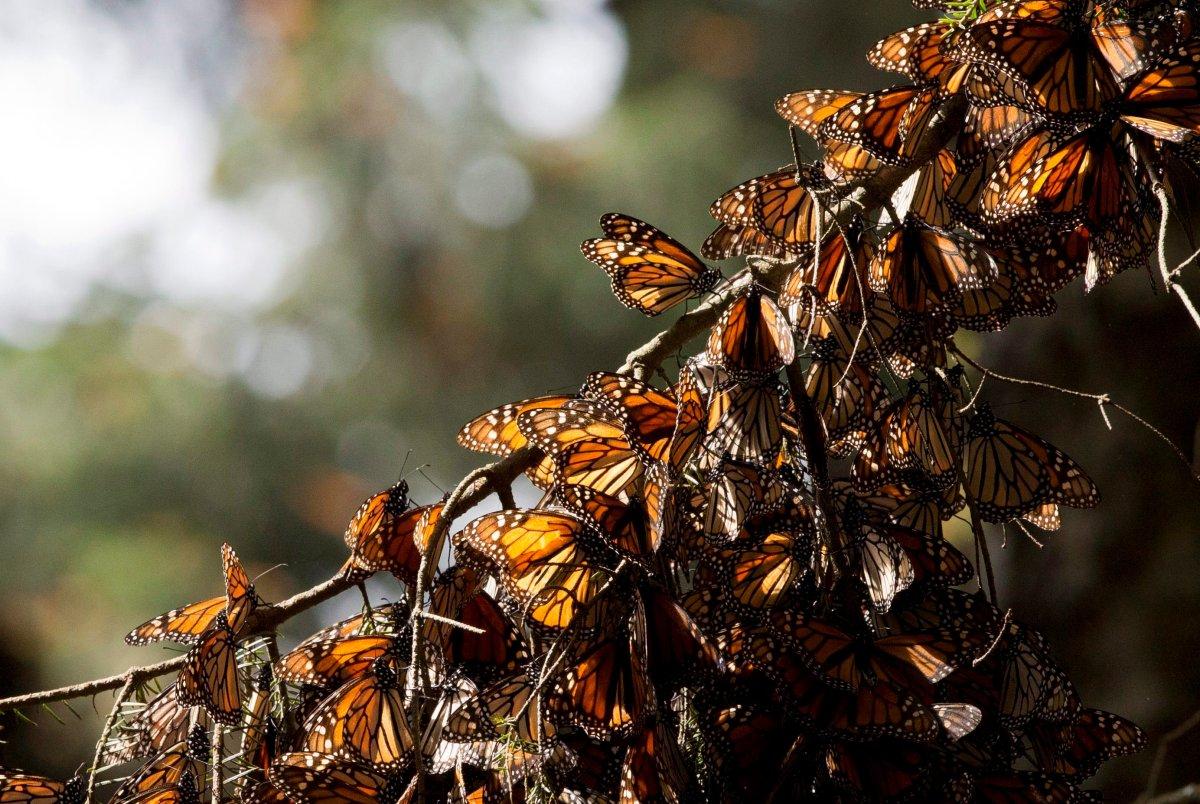A kaleidoscope of Monarch butterflies hang from a tree branch, in the Piedra Herrada sanctuary, near Valle de Bravo, Mexico.