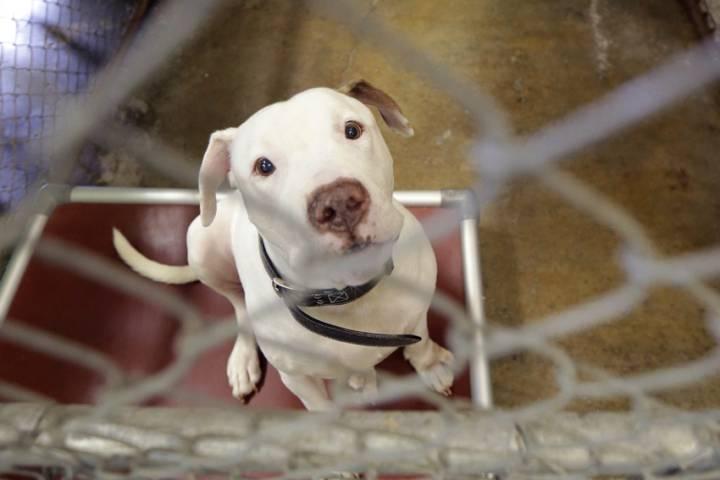 Pit bull puppy.