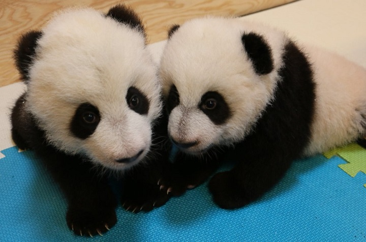 The two giant panda cubs, with the male on the left and female on the right.
