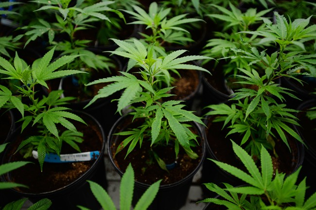 Australian lawmakers committed on Wednesday to legalize the growing of marijuana for medical use.