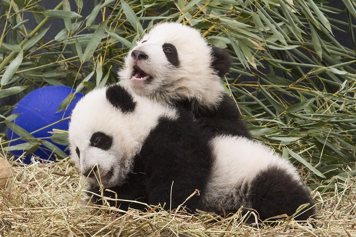 Five-month-old panda cubs Jia Panpan and Jia Yueyue play in an enclosure at the Toronto Zoo, as they are exhibited to the media on Monday, March 7, 2016.