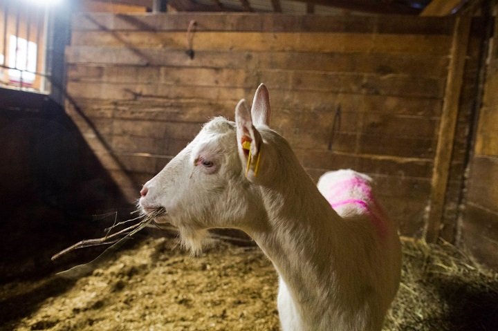 Lily the goat.