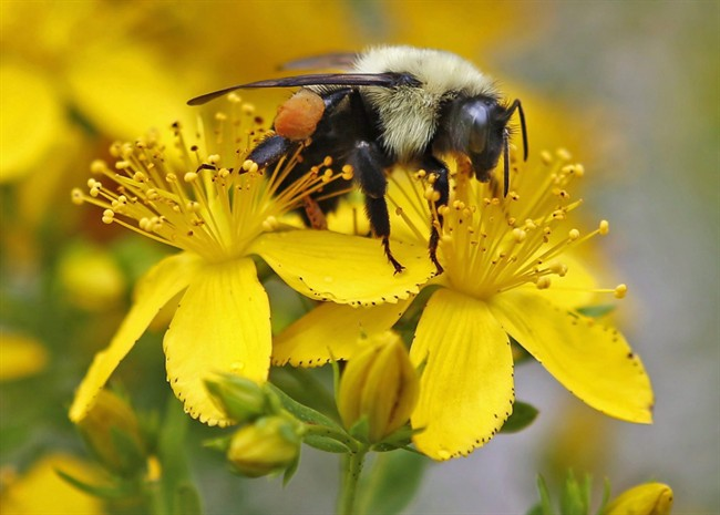A bumblebee gathers nectar on a wildflower.