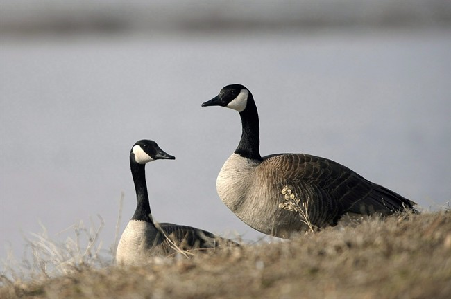 Canada Geese forage at Wascana Centre in Regina on Monday, April 6, 2015.