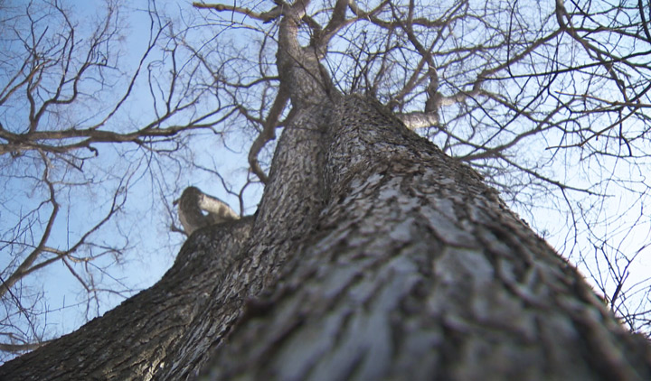 Homeowners are once again asked to halt the spread of Dutch elm disease in Saskatchewan by following a pruning ban.