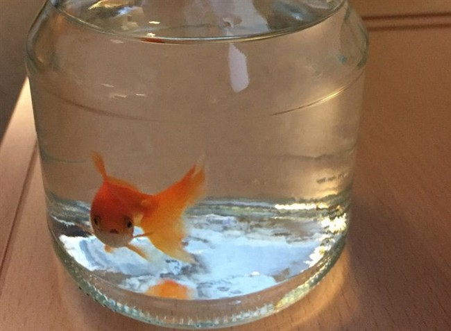 In this photo provided by the Norwegian police, a goldfish swims inside a jar, at the police station in Bodo, northern Norway, Sunday, March 6, 2016.